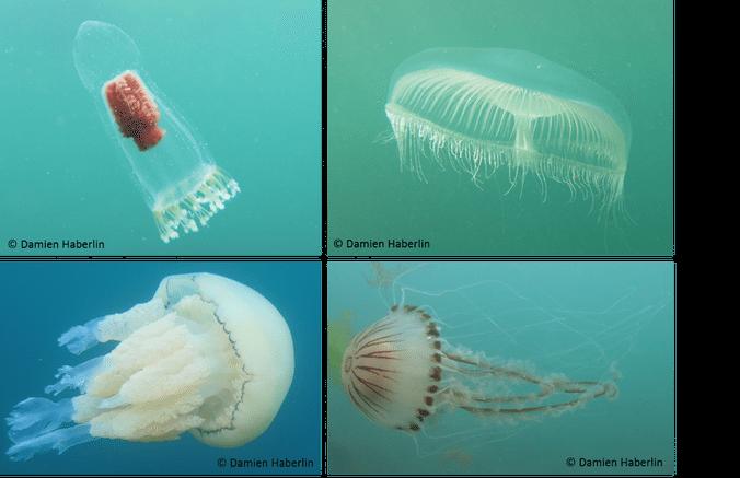 Jelly Fish - Damien Haberlin